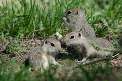 Family of Little Ground Squirrels Clustered Around Their Hole. Family of Frisky Little Ground Squirrels Clustered Around Their Hole royalty free stock images