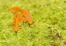 Family Lizards Royalty Free Stock Photo