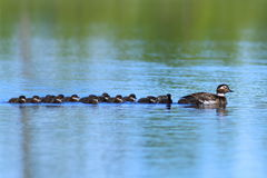 The family of long-tailed duck swimming on a summer day on the Y. Clangula hyemalis. Long-tailed duck with ducklings swimming in the lake in the summer in royalty free stock photos