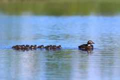 The family of long-tailed duck swimming on a summer day on the Y. Clangula hyemalis. Long-tailed duck with ducklings swimming in the lake in the summer in stock image
