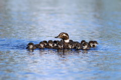 The family of long-tailed duck swimming on a summer day on the Y. Clangula hyemalis. Long-tailed duck with ducklings swimming in the lake in the summer in stock photography