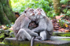 Family of long-tailed macaque (Macaca fascicularis) in Sacred Mo Royalty Free Stock Images