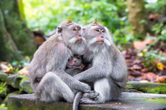 Family of long-tailed macaque (Macaca fascicularis) in Sacred Mo Stock Images
