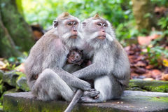 Family of long-tailed macaque (Macaca fascicularis) in Sacred Mo Stock Image