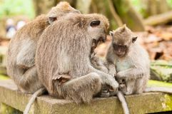 Family of long-tailed macaques Stock Photo