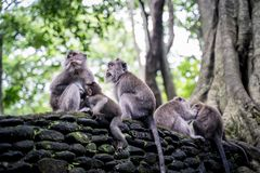 Family of long-tailed macaques Macaca fascicularis in Sacred Monkey Forest, Ubud, Indonesia.  royalty free stock image