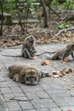 Family of long-tailed macaques Macaca fascicularis in Sacred Monkey Forest, Ubud, Indonesia.  royalty free stock photography