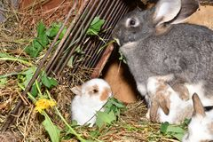 Family love Rabbit mutter and little cutie watching around his hay nest close up portrait. Family rabbit mutter and little cutie watching around his hay nest Royalty Free Stock Images