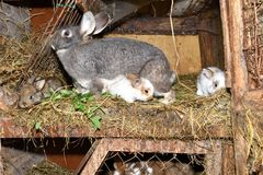 Family love Rabbit mutter and little cutie watching around his hay nest close up portrait. Family rabbit mutter and little cutie watching around his hay nest Stock Image