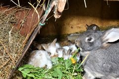 Family love Rabbit mutter and little cutie watching around his hay nest close up portrait. Family rabbit mutter and little cutie watching around his hay nest Royalty Free Stock Photos