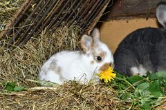 Family love Rabbit mutter and little cutie watching around his hay nest close up portrait. Family rabbit mutter and little cutie watching around his hay nest Stock Photo