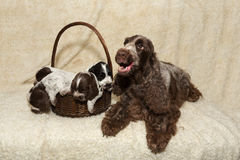 Family of lying English Cocker Spaniel puppy Royalty Free Stock Photos