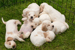 Family of lying English Cocker Spaniel puppy Stock Photo