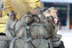 Family of macaques Stock Photography