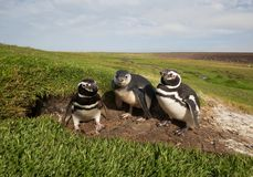 Family of Magellanic penguins standing by a burrow. Summer in Falkland islands royalty free stock photos