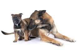 Family malinois. In front of white background Royalty Free Stock Photography