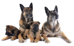 Family malinois Royalty Free Stock Photography