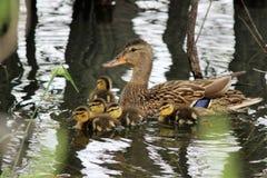 Family of Mallard Ducks Stock Photography
