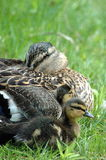 Family of Mallard Ducks. Mother duck and her ducklings stock photos