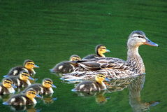 Family of Mallard Ducks. Mother duck and her ducklings swim on a pond royalty free stock image