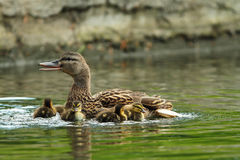 Family of mallard ducks on a pond. Mother with ducklings  Anas platyrhynchos Royalty Free Stock Images