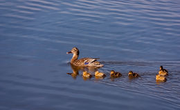Family of Mallard Ducks Swimming. Young Mallard Ducklings following their mother, swimming in a lake Stock Photo
