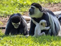 Family Mantled guereza, Colobus guereza, with a white colored baby. The family Mantled guereza, Colobus guereza, with a white colored baby royalty free stock photography