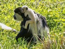 Family Mantled guereza, Colobus guereza, with a white colored baby. The family Mantled guereza, Colobus guereza, with a white colored baby royalty free stock photos