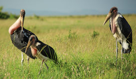 Family of Marabou stork Royalty Free Stock Images