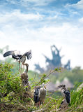 Family of marabou stork Royalty Free Stock Image