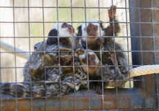Family of marmosets Royalty Free Stock Photography