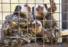 Family of marmosets Royalty Free Stock Images