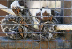 Family of marmosets stock image