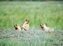 Family of marmots. On the green field is a day of marmot Stock Photo
