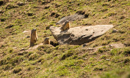 Family of Marmots Royalty Free Stock Photography