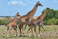Family of Masai Giraffe, Running. A baby Masai Giraffe, still with its umbilical cord, runs with other members of the herd, or tower Royalty Free Stock Photo