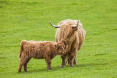 Family on the Meadow - Scottish Cattle and Calf. Incredible scottish cattle with calf - cows with long hair and mighty horns, Scotland Royalty Free Stock Photos