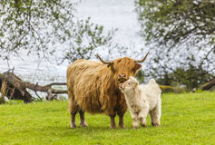 Family on the Meadow - Scottish Cattle and Calf. Incredible scottish cattle with calf - cows with long hair and mighty horns, Scotland Stock Photos