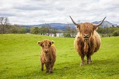 Family on the Meadow - Scottish Cattle and Calf. Incredible scottish cattle with calf - cows with long hair and mighty horns, Scotland Stock Images