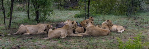 Family meal. Pride of lion feeding on buffalo carcass Royalty Free Stock Photography