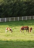 Family Meall. Group of horses feeding out in a green meadow royalty free stock photography