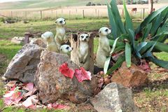 Family of  Meercats Stock Photos