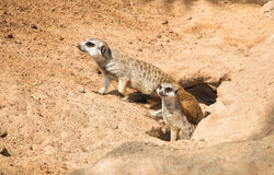 Family Meerkat,  going out from their hole Stock Images