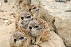 Family meerkat on the look out Royalty Free Stock Images