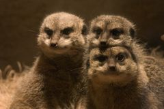 Family of meerkats. A family of three meerkats posing Royalty Free Stock Image