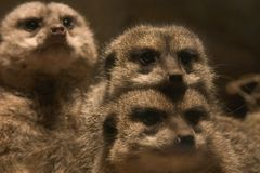 Family of meerkats Royalty Free Stock Photography