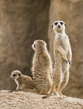 Family of meerkats. A family of meerkats: father, mother and baby. The meerkat is a small mammal, a member of the mongoose family, inhabiting the region of the Stock Photos