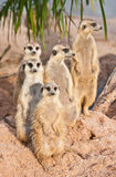 Family of Meerkats Royalty Free Stock Photos