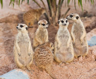 Family of Meerkats Royalty Free Stock Image