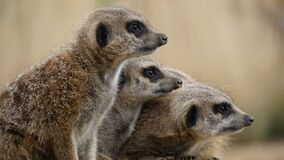Family of meerkats Stock Images